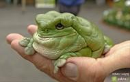 pulchna otyła żaba