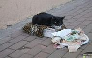 Kot żebrak