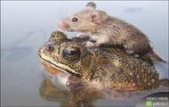 myszka i żaba