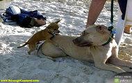Pies na Suki