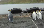Pingwiny kontra lina