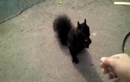 Nasz nowy przyjaciel: mała, czarna wiewiórka :)