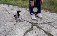 Wrona rozwiązuje buta aby odwrócić uwagę człowieka i... zabrać mu patelnie