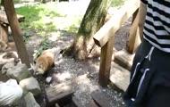 Wioska lisów w Japonii