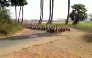 marsz ptaków