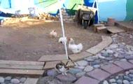 kury vs króliki