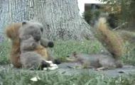 Nagły atak wiewiórki