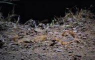 Ryjówka kontra skorpion