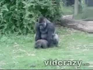 ostry goryl